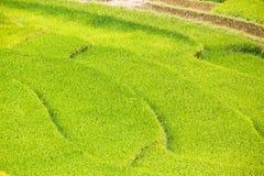 Terrasserade risfält Royaltyfri Bild