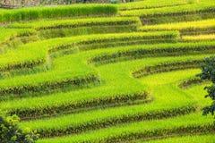 Terrasserade risfält Royaltyfria Bilder
