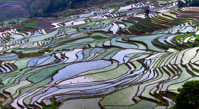 Terrasserade risfält i det Yunnan landskapet, Kina Arkivbild