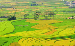 Terrasserade risfält ordnar till plockningen i Yen Bai, Vietnam Arkivfoton