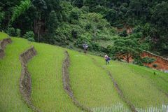 Terrasserade risfält på regnsäsong i Vietnam royaltyfria bilder