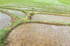 Terrasserar risfältet Arkivfoton