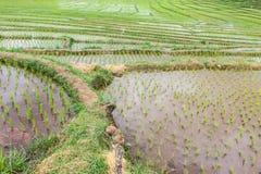Terrasserar risfältet Fotografering för Bildbyråer