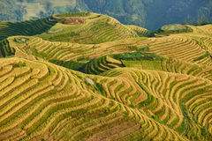 Terrasserat ris sätter in den Wengjia longjien Longsheng Hunan Kina Royaltyfri Bild