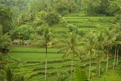 Terrasses colorées de riz de Bali Photo stock