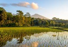 Terrasses de riz au lever de soleil photographie stock libre de droits