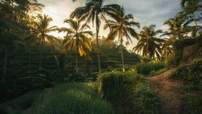 Terrasses de riz de Bali au coucher du soleil Photographie stock