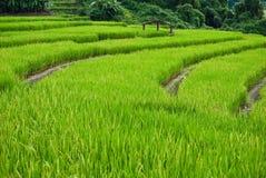 Terrasses de riz, chame de montant éligible maximum, Thaïlande Photographie stock libre de droits