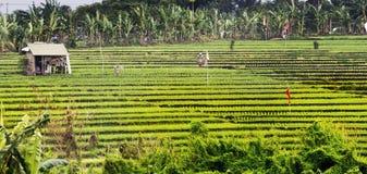 Terrasses de riz chez Bali Indonésie Image libre de droits