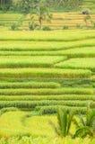 Terrasses de riz d'île de Bali, Indonésie Photos libres de droits