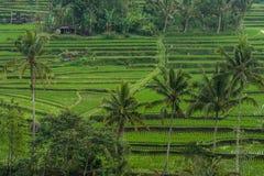 Terrasses de riz dans Tegallalang, Ubud, Bali, Indonésie Image libre de droits