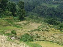 Terrasses de riz de Tana Toraja dans Sulawesi Image stock