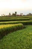 Terrasses de riz sur Bali. l'Indonésie Photographie stock