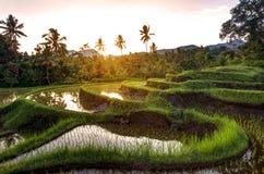 Terrasses de riz sur Bali pendant le lever de soleil, Indonésie Photo stock