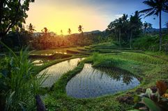 Terrasses de riz sur Bali pendant le lever de soleil, Indonésie Photo libre de droits