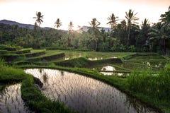 Terrasses de riz sur Bali pendant le lever de soleil, Indonésie Photographie stock