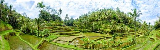 Terrasses de riz de Tegalalang, Bali 8 Images libres de droits