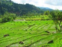 terrasses de tegallalang de riz de bali Indonésie Photographie stock