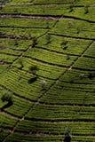 Terrasses de thé vert dans la montagne du Sri Lanka Image libre de droits