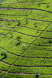 Terrasses verdes do T nas montanhas de Sri Lanka fotografia de stock royalty free