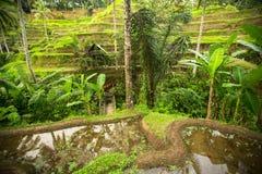 Terrasses vertes de riz en île de Bali, Indonésie nature Images libres de droits