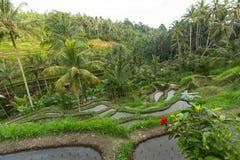 Terrasses vertes de riz en île de Bali, Indonésie nature Photographie stock