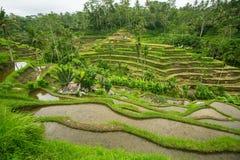Terrasses vertes de riz en île de Bali, Indonésie nature Image stock