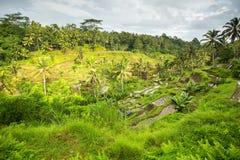 Terrasses vertes de riz sur l'île de Bali Images stock