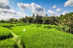 Terrasses vertes larges de riz - Bali, Indonésie Image stock