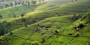 Terrasses verts de pièce en t dans la montagne de Sri Lanka Images libres de droits