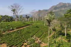 Terrasses verts de pièce en t dans Sri Lanka Image libre de droits