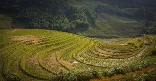 Terrassfältris på Mu Cang Chai Royaltyfria Foton