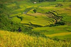 Terrassrice sätter in vietnam Royaltyfria Foton