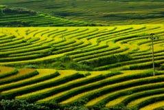 Terrassrice sätter in vietnam Royaltyfri Fotografi