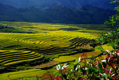 Terrassrice sätter in vietnam Royaltyfria Bilder