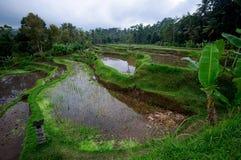 Terrassricefält på Bali, Indonesien Arkivbilder