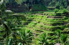 Terrassricefält på Bali, Indonesien Arkivfoton