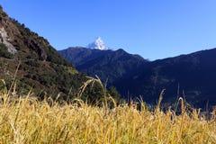 Terrassris Paddy Field, Nepal Arkivfoton