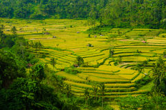 Terrassrisfält, Bali, Indonesien Arkivbild