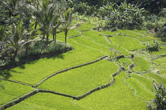 Terrassrisfält, Bali, Indonesien Royaltyfria Foton