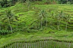 Terrassrisfält i Tegallalang Arkivfoton