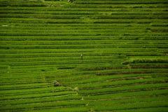 Terrassrisfält i Vietnam Arkivfoto