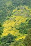 Terrassrisfält i Nepal Arkivbild