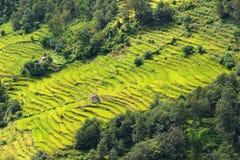 Terrassrisfält i Nepal Arkivfoton