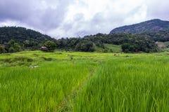 Terrasvormig Padieveld, Pha Mon Chiangmai Thailand Stock Afbeeldingen