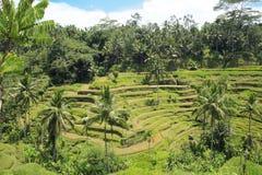 Terrasvormige Padievelden Bali Indonesië Stock Afbeeldingen