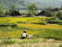 Terrasvormige padievelden in heuvels Stock Afbeeldingen
