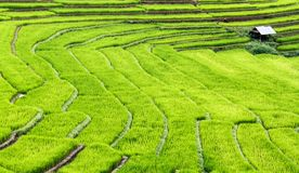 Terrasvormige padieveldenstappen. Stock Foto's