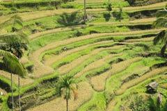Terrasvormige Rijst Paddy Fields Bali Indonesia Royalty-vrije Stock Afbeelding