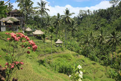 Terrasvormige Rijst Paddy Fields en bloemen Bali Indonesië Stock Afbeelding